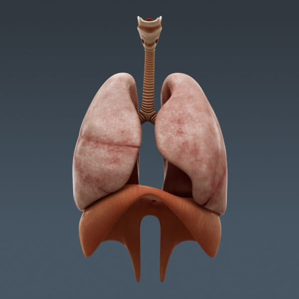3689 Human Male Body and Respiratory System Textured Anatomy
