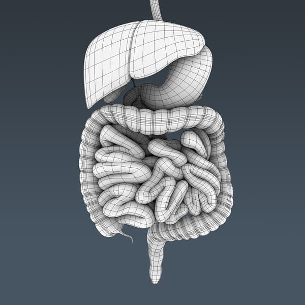 4061 Human Male Body and Digestive System Textured Anatomy