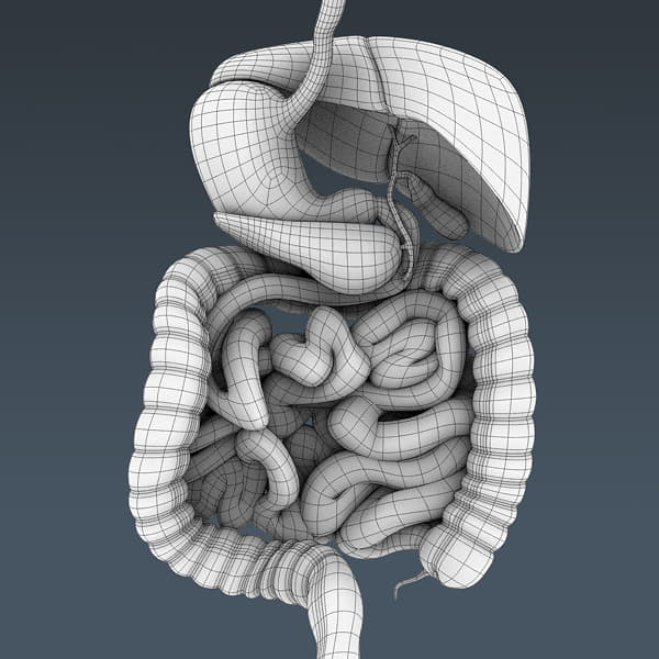 4062 Human Male Body and Digestive System Textured Anatomy
