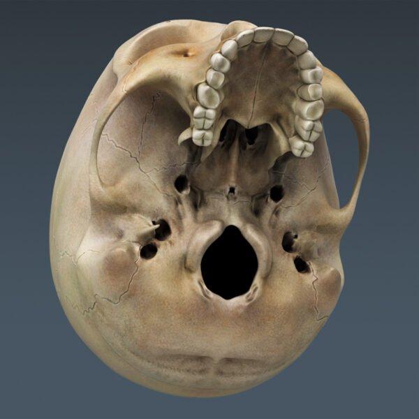 Anatomy th021