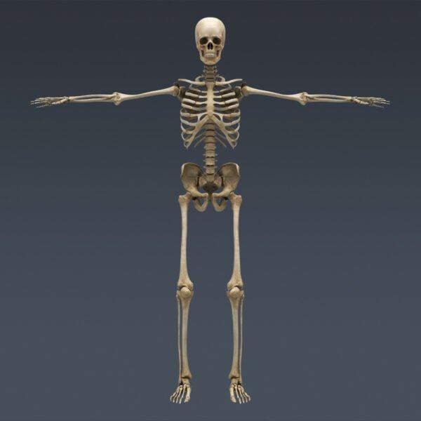 MusclesAnatomy th024