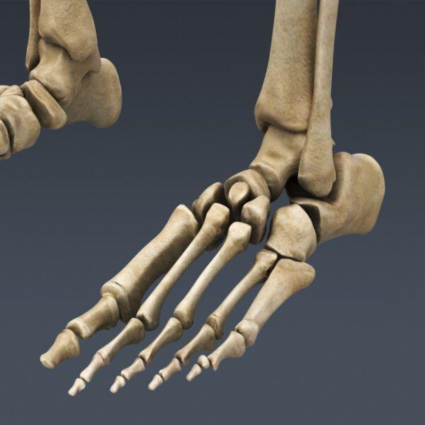 MusclesAnatomy th028