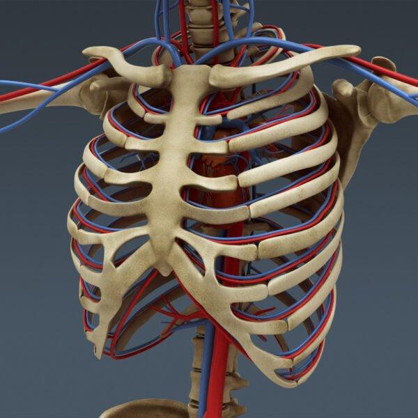 MusclesAnatomy th033