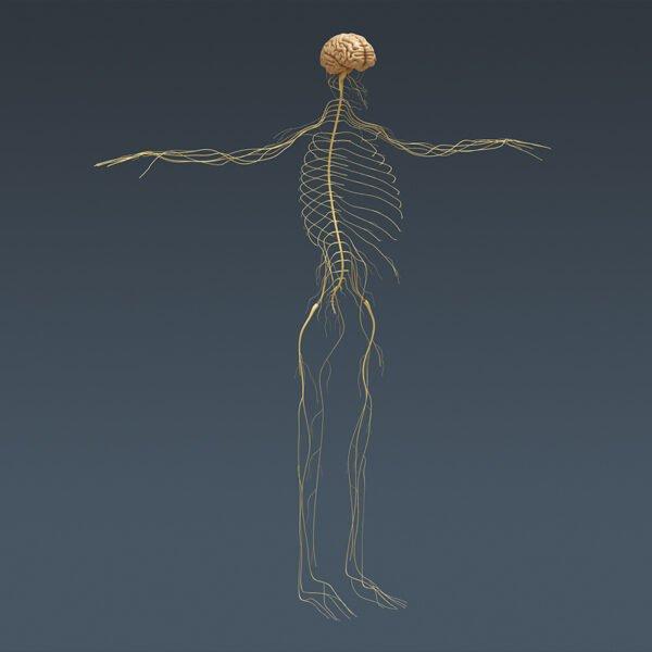 MusclesAnatomy th046