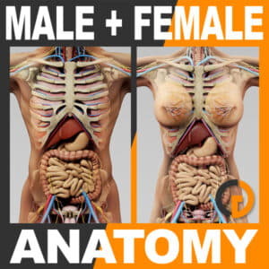 Human Male and Female Anatomy - Body, Skeleton and Internal Organs