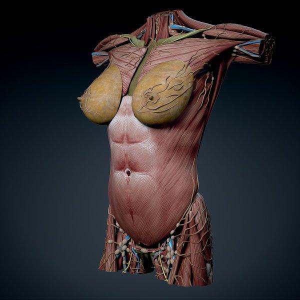 Human Female Torso Anatomy